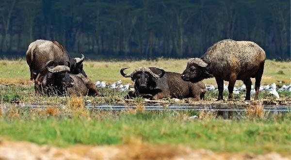 Kenya Safari - Amboseli, Lake Nakuru & Masai Mara