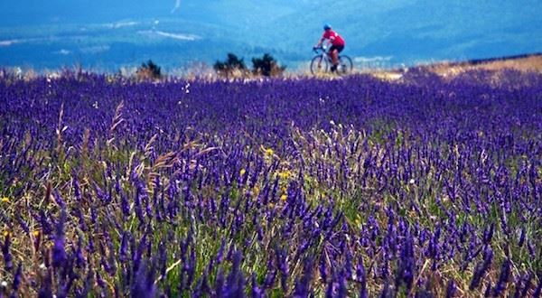 Provence Lavender Biking Experience
