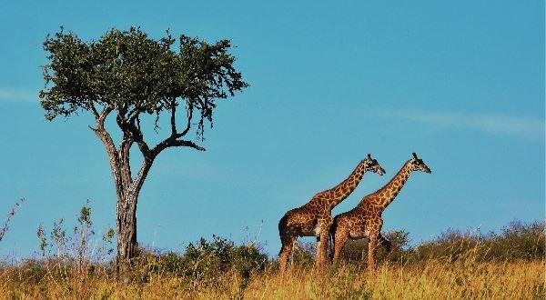 Serengeti Safari (Budget Camping)