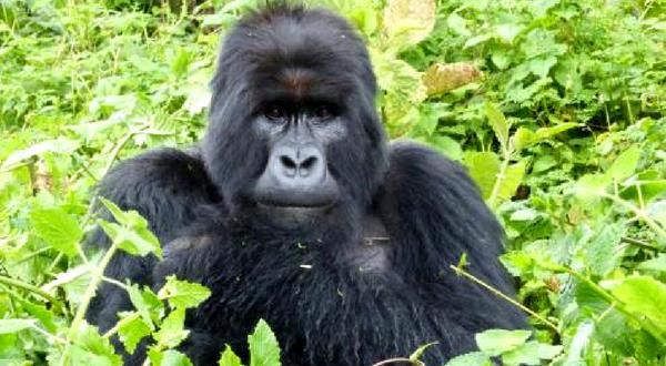 Uganda Gorilla Shortbreak